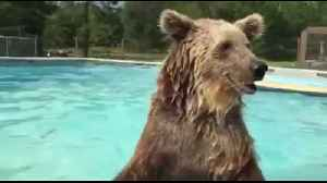 Bear goes for dip in swimming pool, almost tears it apart [Video]