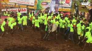 Strong as a bull! Contenders tossed like ragdolls at Indian bull-taming festival [Video]