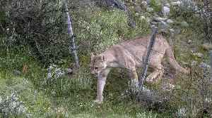 Photographer Captures Pumas Jumping Over Fences In Chile [Video]