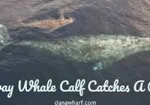 Baby Gray Whale Swims in Mom's Slipstream [Video]