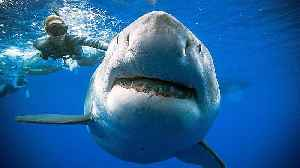 Divers pictured swimming with 2.5 tonne great white shark off the coast of Hawaii [Video]