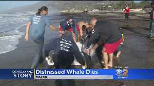 Distressed Whale Euthanized After Getting Beached In Malibu [Video]