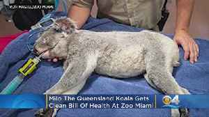 Zoo Miami's Milo The Koala In 'Excellent Health'; Ready To Meet Female Koala [Video]