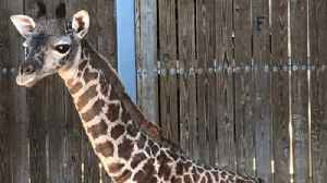 Disney employees, guests marvel at witnessing giraffe's birth at Animal Kingdom [Video]
