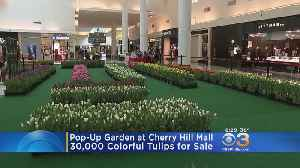 30,000 Tulips For Sale At Pop-Up Garden At Cherry Hill Mall [Video]