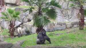 Incredible Trainer Teaches Gorilla How to Do Handstand [Video]