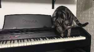 Curious Cat Discovers Piano [Video]