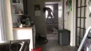 Hilarious footage shows sneaky dog escaping over double baby gate [Video]