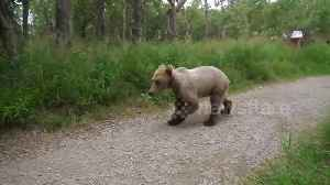 Juvenile brown bear gets way too close for comfort [Video]