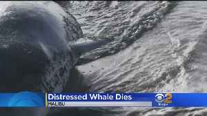 Sick Pygmy Sperm Whale Put Down After Getting Beached In Malibu [Video]