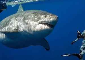 News video: Great White Shark Dwarfs Divers in Close Encounter off Hawaii