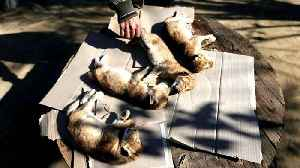 Gaza: Four lion cubs die from cold weather day after birth [Video]