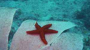 Starfish in a gorgonian [Video]