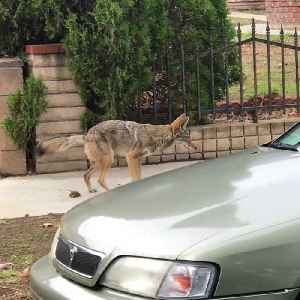 Coyote Has to do a Number Two [Video]