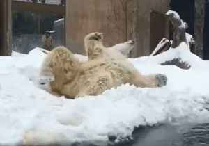 Polar Bear Has Field Day During Icy New York Winter Storm [Video]