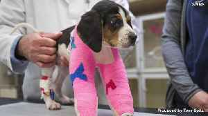 Puppy Born With Upside Down Paws Receives Life Changing Operation [Video]