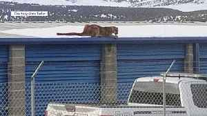 Mountain Lion Spotted on Roof of Utah Storage Facility [Video]