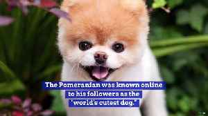 Boo, the Social Media Pet Sensation, Dead at 12 [Video]