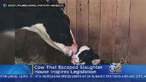 N.J. Escaped Cow Inspires Change [Video]