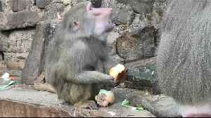 Clever baboon dips his bread in the water [Video]