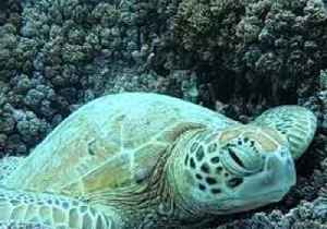 Sleepy Sea Turtle Dozes Off Amongst the Coral [Video]