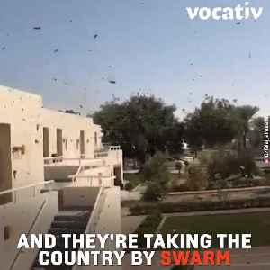Saudi Arabia's Locusts Are A Delicacy Gaining Popularity After Recent Plaque And Are Selling For $25 Per Pound [Video]