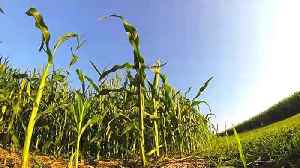 Scientists Have Unveiled New 'Architecture' In Corn [Video]