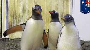 Gender of penguin raised by gay parents revealed in Sydney [Video]