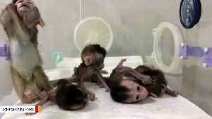 Gene-Edited Disease Monkeys Have Been Cloned By Chinese Scientists [Video]