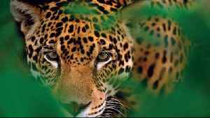 The Mayan Train Threatens Mexico's Jaguars [Video]