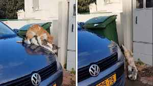 Hilarious moment passerby catches mating cats falling off car  [Video]