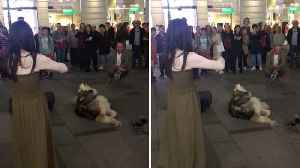 Pawsome performance – busking violinist is interrupted by howling husky dog in hilarious clip [Video]