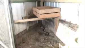 Cranky Eastern Brown Snake Caught in Chicken Coup [Video]