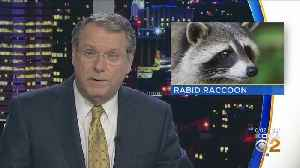 Raccoon Tests Positive For Rabies In Upper St. Clair [Video]