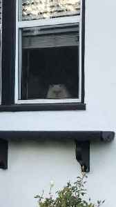 Grumpy Cat Stares out of the Window Non-Stop [Video]