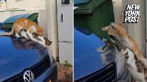 Cats learn that the hood of a car is a bad place for romance [Video]