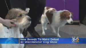 New Breeds Make Their Debut At Westminster Kennel Club Dog Show [Video]