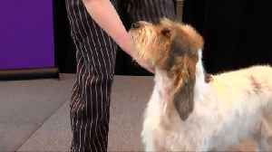 Two new dog breeds join the Westminster Kennel Club Dog Show [Video]