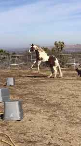 Horse Rolls and Jumps Around Playfully in Dirt [Video]