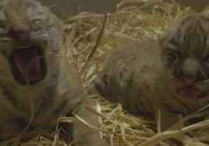 Amur Tiger Cubs Set to Make Their Debut in Dublin Zoo [Video]