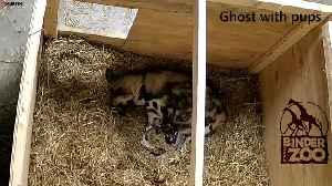 Zoo celebrate arrival of 11 Painted Dog puppies [Video]