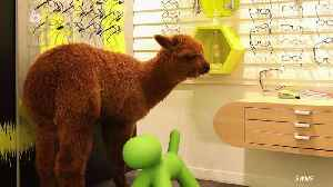 Hilarious Moment an Escaped Alpaca Was Caught Wandering Into Optician Store [Video]