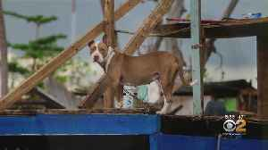 Woman Rescues Dogs From Storm-Ravaged Puerto Rico [Video]
