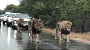 Male lions hold up traffic patrolling their territory [Video]