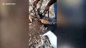 Two deer rescued after getting antlers entangled in irrigation pipes [Video]