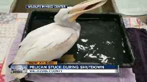 White pelican able to leave Waukesha after government shutdown ends [Video]