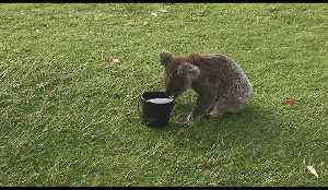 Thirsty Koala Stops For a Drink on Hot Port Macquarie Day [Video]
