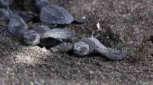 Baby turtles emerge from the sand after hatching under Guatemalan beach [Video]