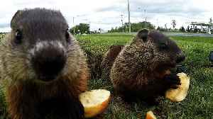 Adorable baby groundhogs are too busy to look for their shadow [Video]