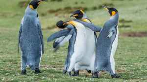 Feathered foes! Plucky penguins p-p-pick a fight to impress the female in hilarious slapping battle [Video]